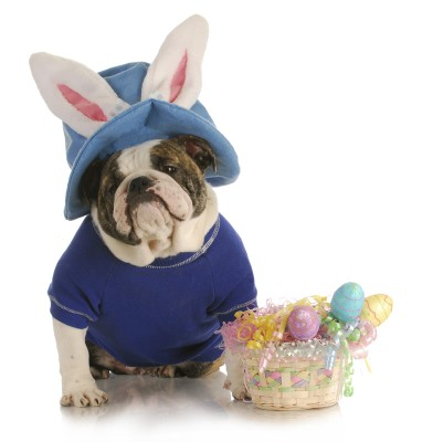 Easter Bull Dog